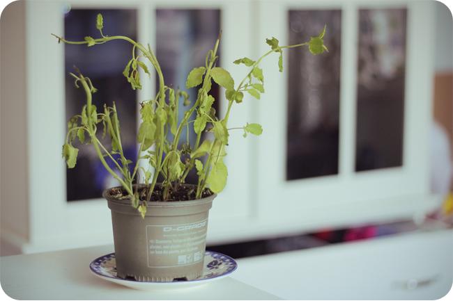 muntplant